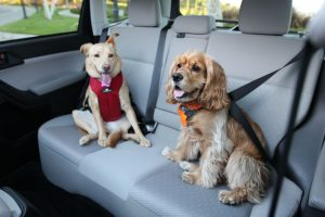 Dogs and car seat